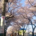 大泉学園通りの桜